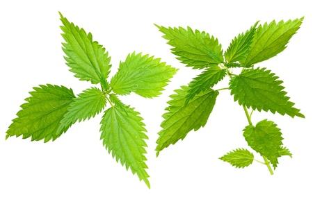 urtica: Medicinal plant. Nettle (Urtica dioica L) Stock Photo