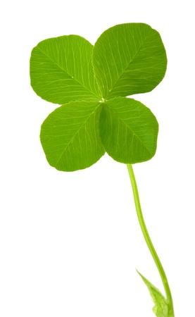 white clover: Four leaf clover
