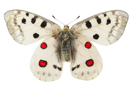 Apollo butterfly  Parnassius apollo  Stock Photo