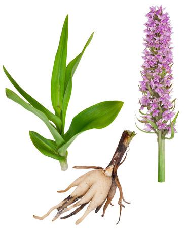 orchideae: Medicinal plant: Orchid - Dactylorhiza fushsii