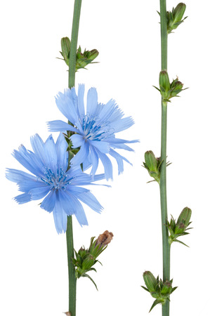 chicory flower: Medicinal plant: Chicory