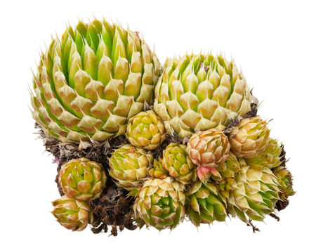 medicinal plant: Medicinal plant: Orostachys spinosa Stock Photo