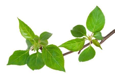 Jóvenes brotes verdes de la manzana del árbol con hojas