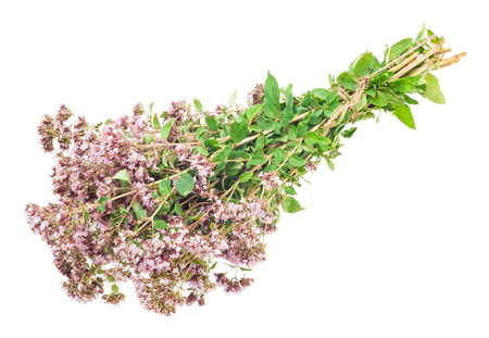 origanum: Oregano or Marjoram Herb Blooming (origanum majorana )