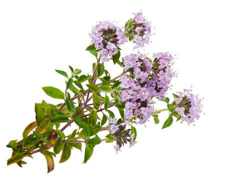 Roślin leczniczych: Tymianek Zdjęcie Seryjne