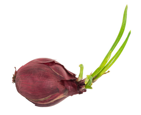 aftertaste: Sprouting red onion Stock Photo