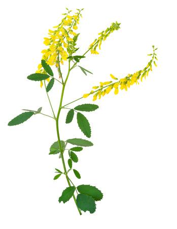plant sweet: Medicinal plant: Melilotus officinalis (Yellow Sweet Clower)