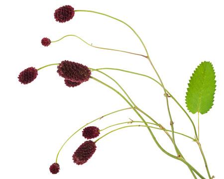 sanguisorba: Medicinal plant: Burnet (Sanguisorba officinalis)