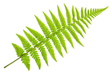 Fern isolated on white background Stok Fotoğraf