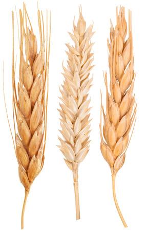 cultivo de trigo: Espigas de trigo. Macro