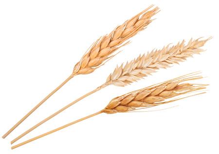 cosecha de trigo: Espigas de trigo