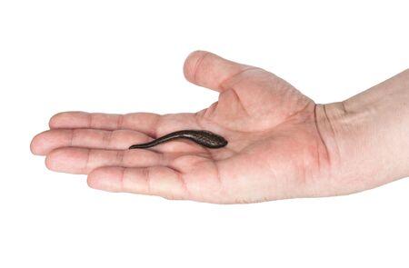 leech: Leech in  hand Stock Photo