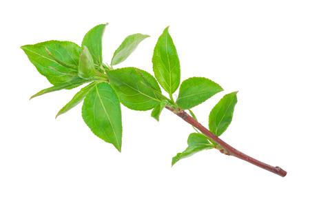 arbol de manzanas: J�venes brotes verdes de la manzana del �rbol con hojas
