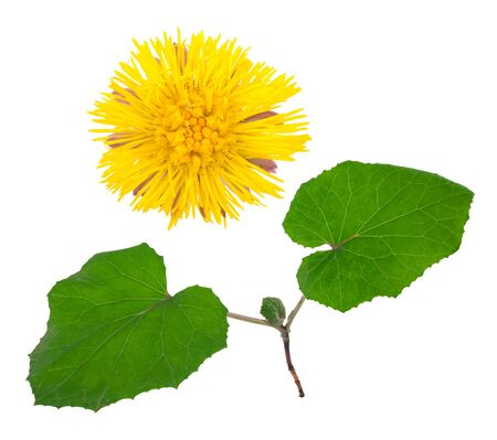 homoeopathic: Medicinal plant: coltsfoot Stock Photo