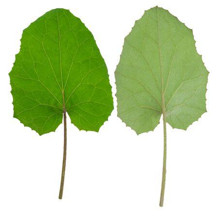 Medicinal plant: coltsfoot Stock Photo