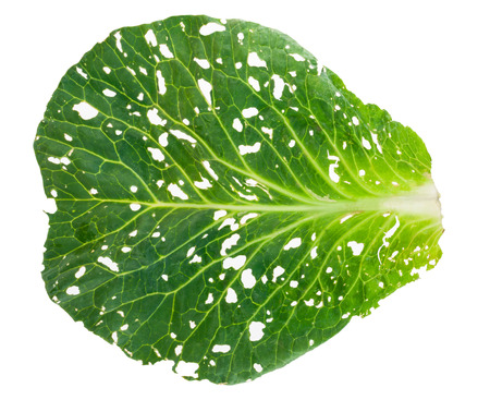 holey: Holey cabbage leaf