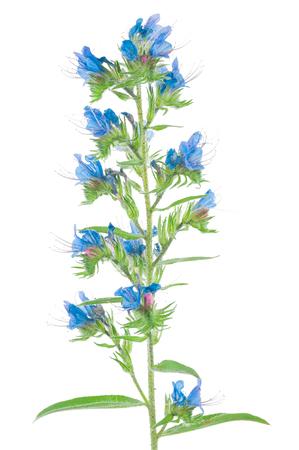 echium: Medicinal plant: Echium vulgare Stock Photo