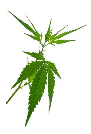 jane: A young new growing cannabis (marijuana) plants Stock Photo