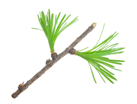 larch: Young larch branch