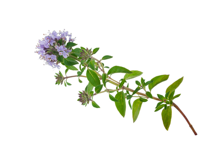 thymus: Medicinal plant: Thyme