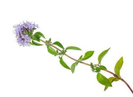 tomillo: Planta medicinal: Tomillo
