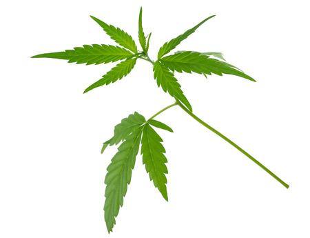 wacky: A young new growing cannabis (marijuana) plants Stock Photo