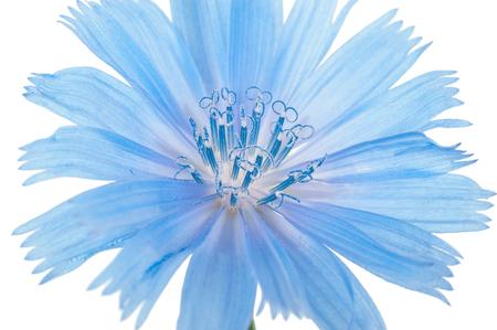 chicory flower: Chicory flower. Macro Stock Photo