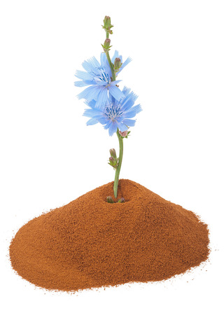 soluble: Blue chicory flower and powder of instant chicory