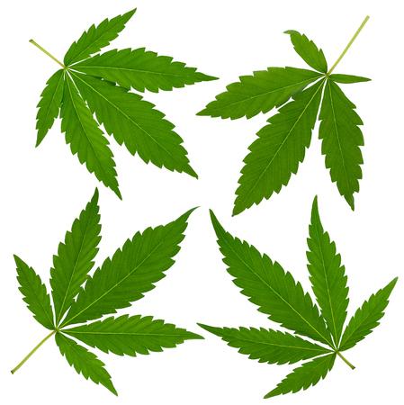 drug dealers: Cannabis leafs