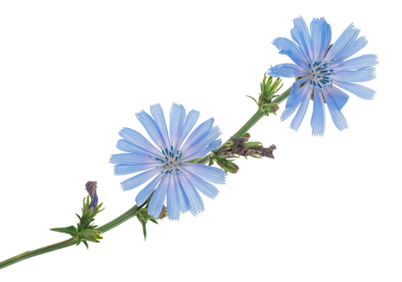 chicory coffee: Chicory flowers