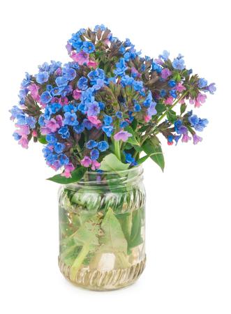 officinalis: Lungwort medicinal (Pulmonaria officinalis) Stock Photo