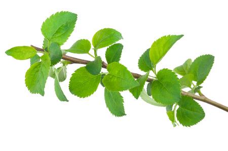 arbol de manzanas: rama de un �rbol de manzana joven Foto de archivo