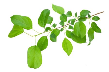 feuille arbre: Jeune pomme branche d'arbre