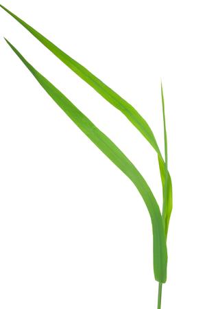 repens: Medicinal plant: Elytrigia repens. Couch-grass