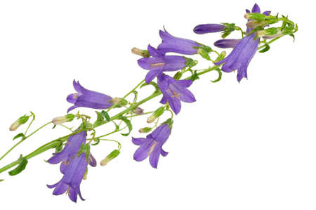 bellflower: Giant bellflower