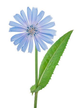 Cichorei bloem