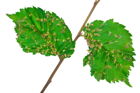 tiliae: Lime nail gall - Eriophyes tiliae