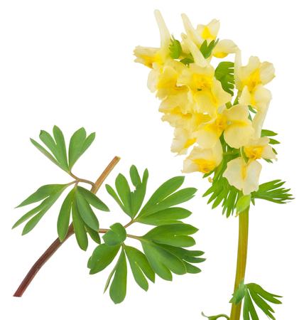 corydalis: Medicinal plant: Corydalis bracteata