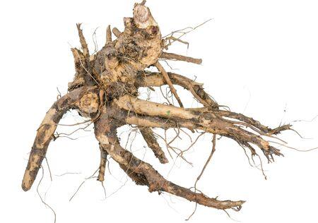 raíz de planta: Medicinal plant. The root of elecampane Foto de archivo