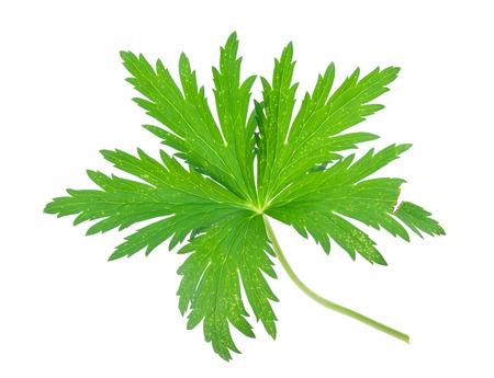 low angles: Globe-flower leaf Stock Photo