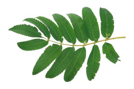 rowan: Green rowan tree leaf