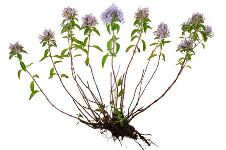 raíz de planta: plantas medicinales: tomillo con la raíz