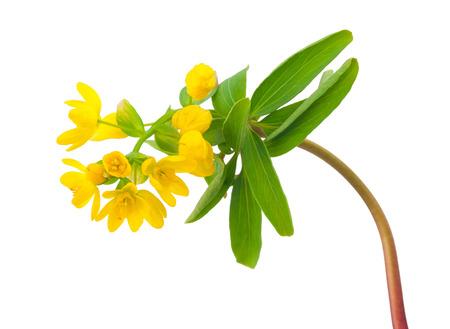 spring flowers: Gymnospermium altaicum
