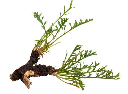 valerian: Medicinal plant: Patrinia intermedia
