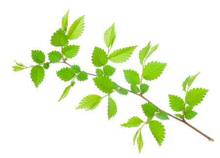 pointy: Branch of hornbeam with green toothed leaves