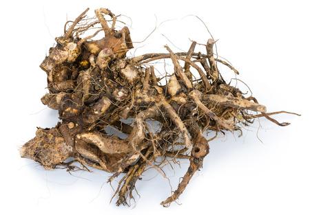 raíz de planta: Planta medicinal. La raíz de helenio