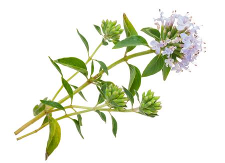 薬用植物: タイム 写真素材