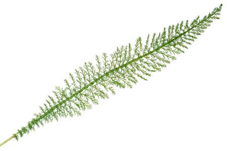 yarrow: Leaf yarrow Stock Photo