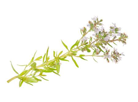 thymus: Medicinal plant: Thymus marschallianus