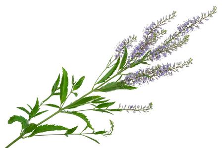 speedwell: Speedwell flowers (Veronica longifolia)